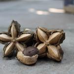 ประโยชน์ของดาวอินคา (Sacha inchi, Inca peanut, )